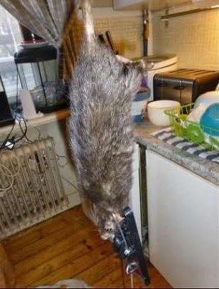 rata gigante en una cocina