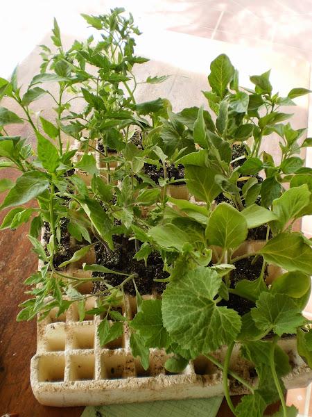 como cultivar calabacines cuidar de tus plantas es