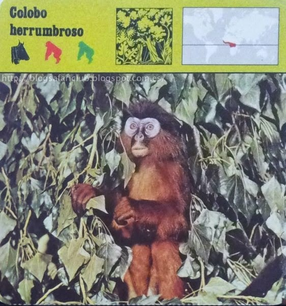 Blog Safari Club, el Colobo herrumbroso, no tienen crines
