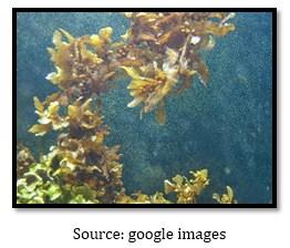 Ciri – Ciri Dan Spesifikasi Chrysophyta Atau Ganggang Keemasan