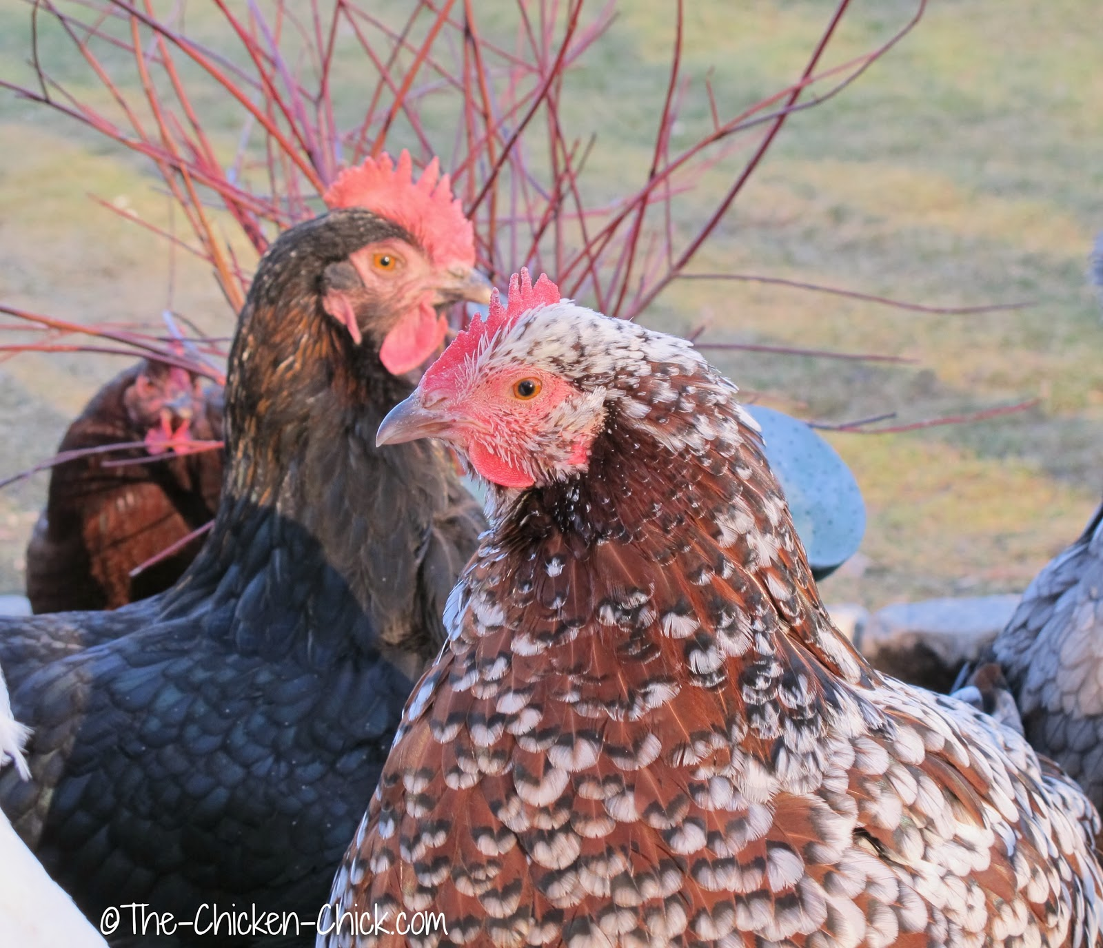Speckled Sussex and Black Copper Marans hens