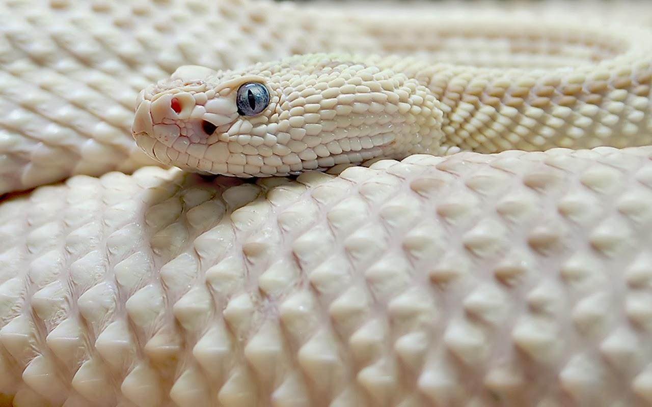 Viper Snake Wallpapers Wallpaper × Snake Image Wallpapers
