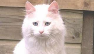 Gambar Kucing Anggora Lucu dan Imut 100019