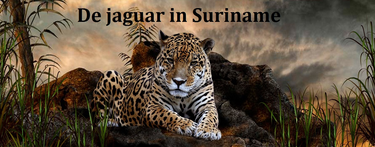 De jaguar in Suriname