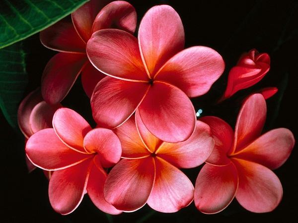 bunga kambojar