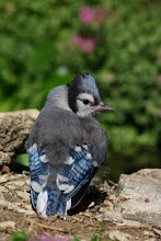 Young Fledgling Blue Jay
