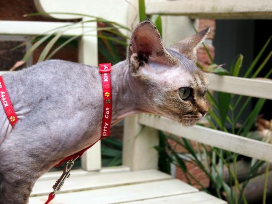Devon Rex cat from Zaventem Belgium
