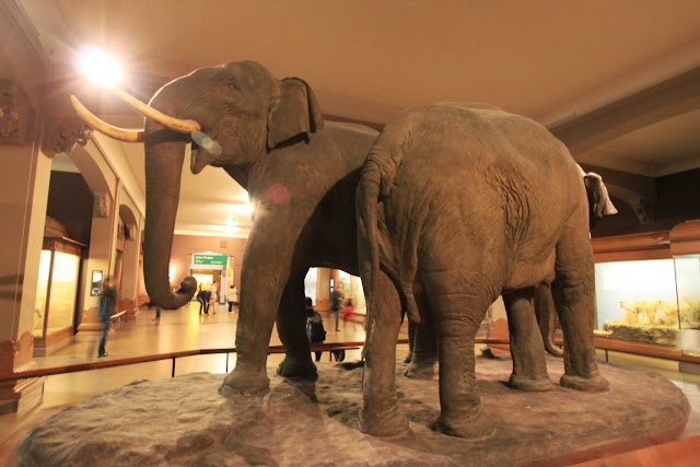 Giant elephant display at Hall of Mammals at American Museum Natural History in New York City, USA
