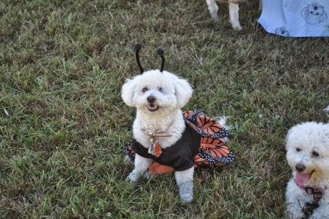 Bichon Rescue Dogs Uk