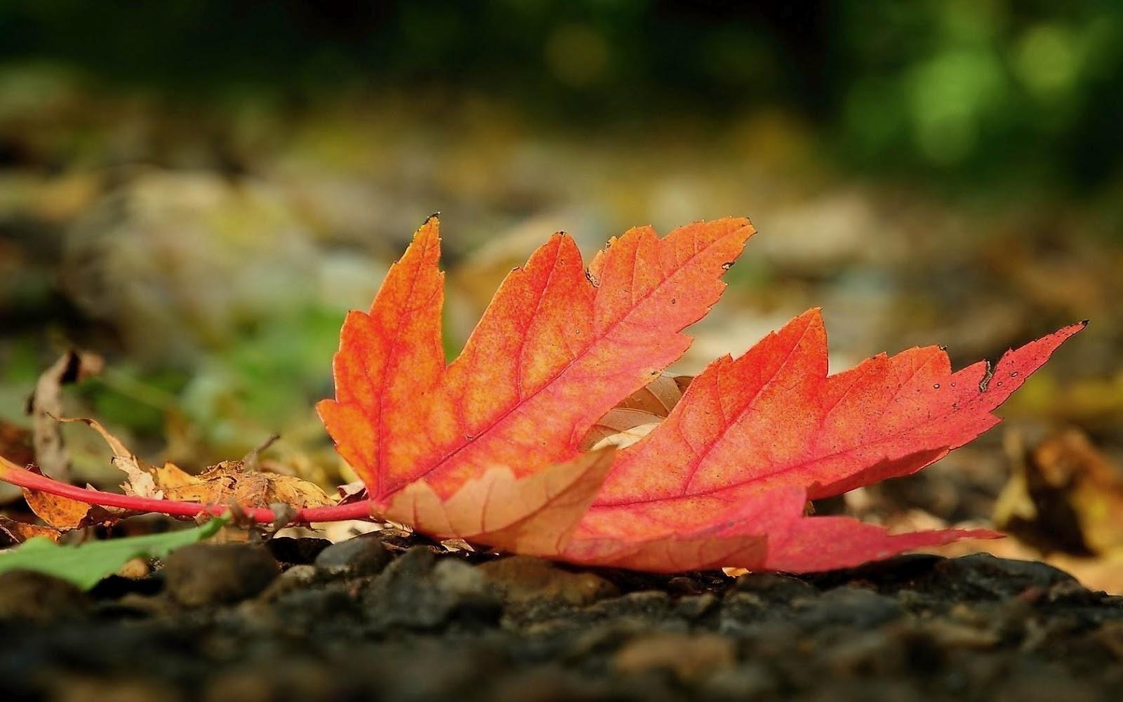 http://2.bp.blogspot.com/-TVb9raqLwJg/UE3J2d3dr_I/AAAAAAAAHM4/7cECyl8bH5g/s1600/hd-herfst-wallpaper-met-groot-rood-herfstblad-op-de-grond-herfst-achtergrond-foto.jpg