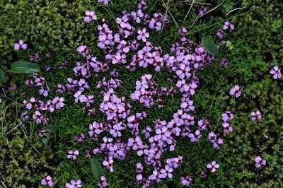 Silene acaulis – Moss Campion (#76)