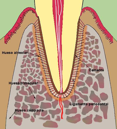 Embriología BucoDental: Periodoncio II: Hueso Alveolar