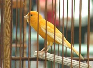 Burung Kenari Kontes