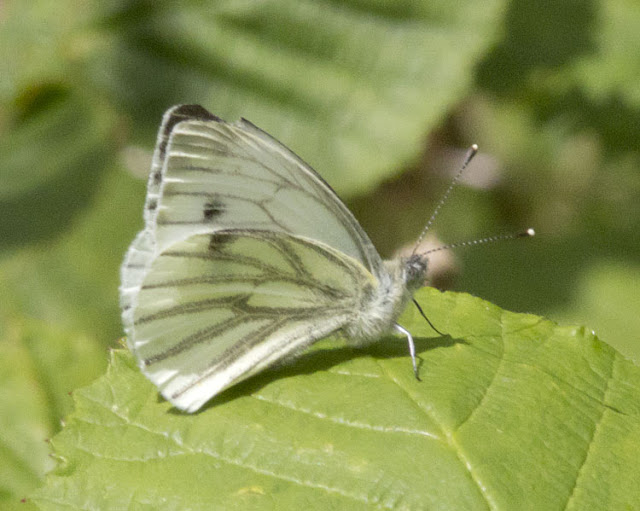 Green-Veined White, Pieris napi.  Butterfly walk in Darrick and Newstead Woods, 23 July 2011.