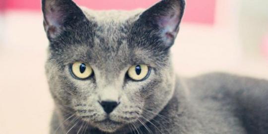 10 Ras Kucing Termahal Di Dunia Dunia Sejuta Warna