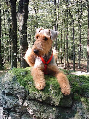 Airedale Terrier Puppies Pictures