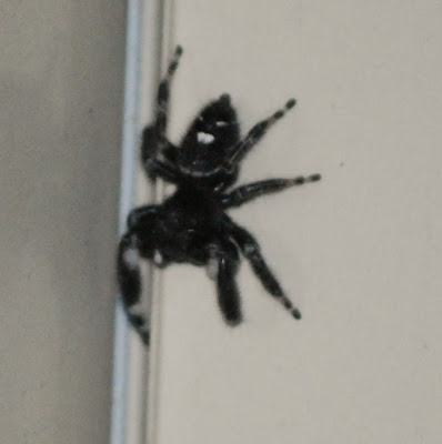 Michigan Spiders - Daring Jumping Spider-1