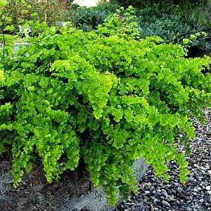contoh tumbuhan paku Suplir