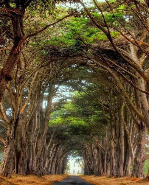 Cypress Trees, Pt. Reyes, California