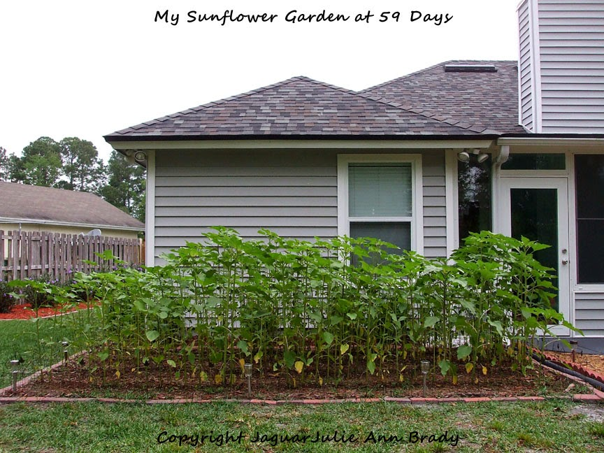 My Sunflower Garden at 59 Days ~ JaguarJulie