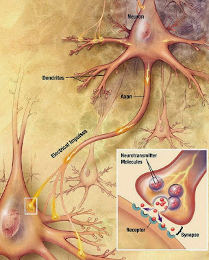 Image of Billions of nerve cells, called neurons, make up the brain.
