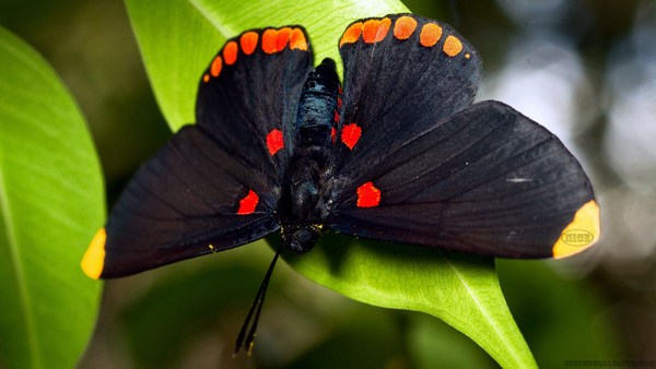 Nice Black Butterfly HD Wallpaper Collection