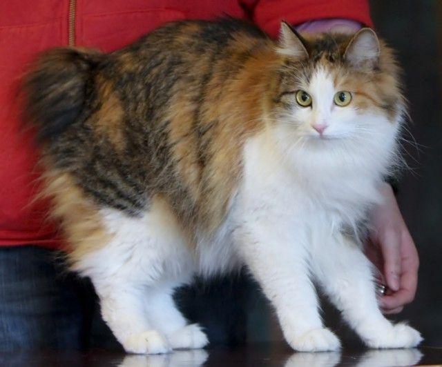 Top 5 Rarest Cat Breeds
