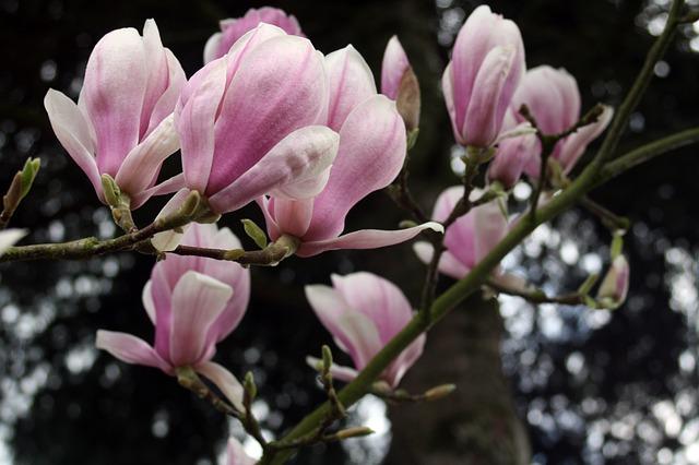 blumensprache magnolie. Black Bedroom Furniture Sets. Home Design Ideas
