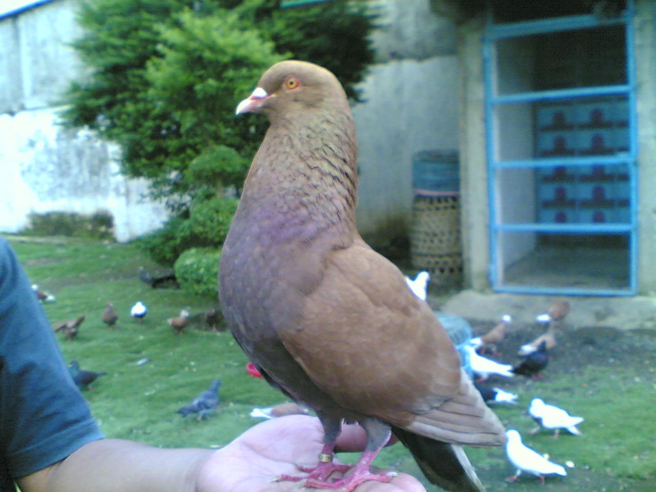 Burung Dara Cantik