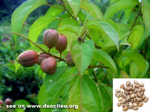 Croton seed (Badou)-Cr...