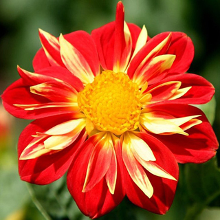 Dalia rojo con amarillo - Solo Nuevas