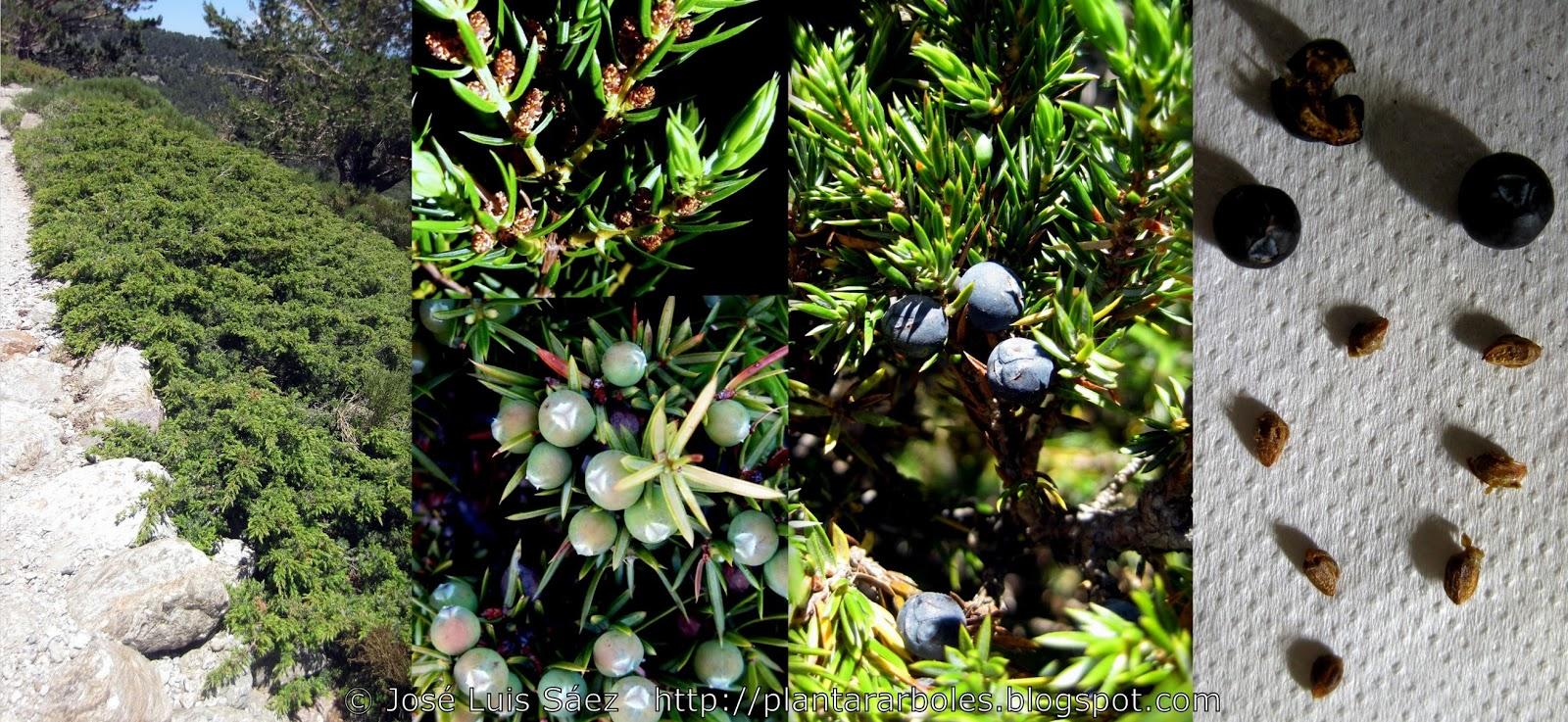 Plantar rboles y arbustos arbustos aut ctonos espa a - Arbusto pequeno con flores ...
