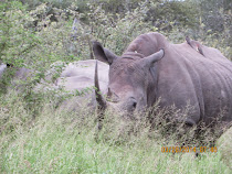 Rare black rhino, close-up and ... ready to charge?  West of Skukuza Camp, Kruger National Park