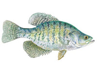 White Crappie Fish Pictures