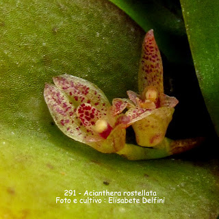 Pleurothallis rostellata