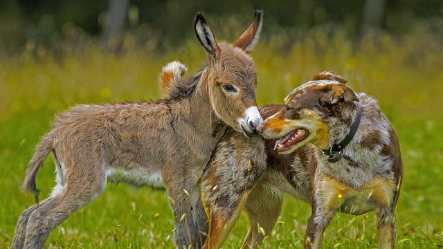Siesta the donkey greets Sudo the dog in Melbourne, Australia (© Sarah Matray/REX Shutterstock)
