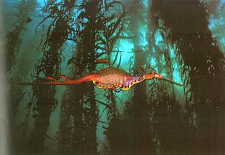 Морской дракон в водорослях