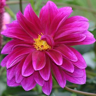 Dalia lila