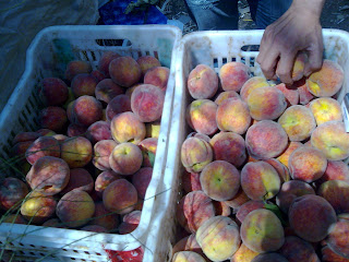 peaches_suppliers_egypt