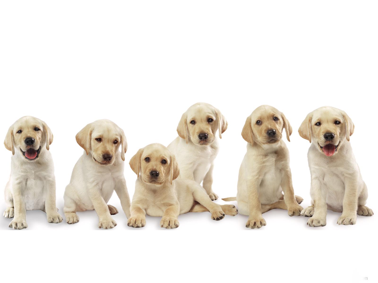 Büyüme ve Labrador ağırlığı