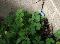 The Blue Plastic Goat I photographed recently next to a clump of chickweed remained in a corner of St. Paul's Episcopal Church courtyard garden for 3 years, then mysteriously journeyed on--perhaps to the trash, alas (!)--on August 12, 2011, when two new gardeners came to water the place.