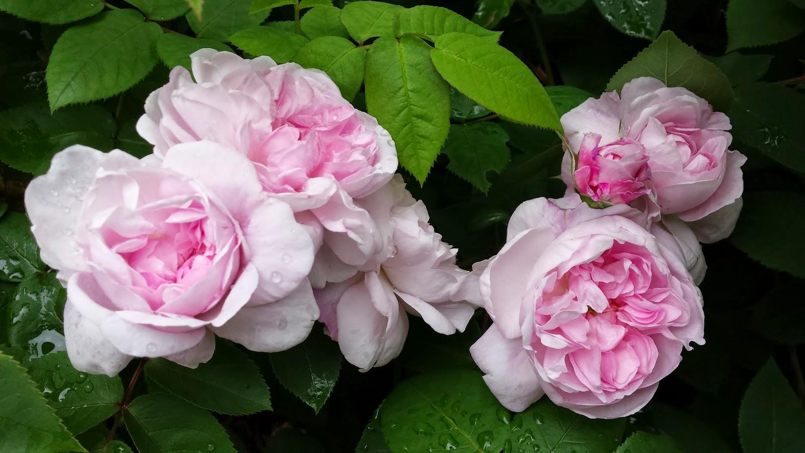 v rli den vakreste rosa fantin latour blommig fredag. Black Bedroom Furniture Sets. Home Design Ideas