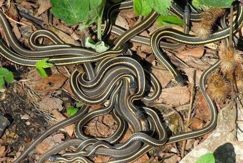 Narcisse snake pit kolam ular terbesar di dunia atjeh news lubang ini menjadi kolam untuk kawanan red sided garter snake terbesar di dunia reheart Image collections