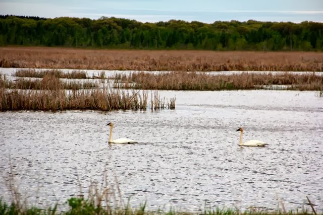 trumpeter swans, late Spring