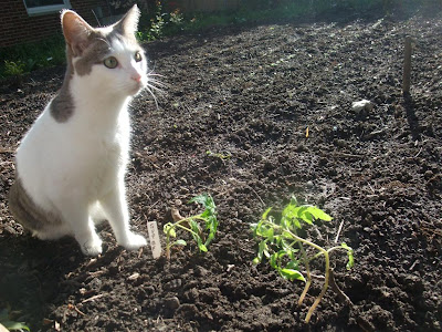 cat in garden, protect tomato plants