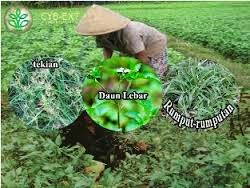 Jenis Gulma Pada Perkebunan Kelapa Sawit