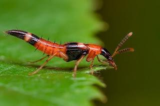 serangga tomcat,cara mengobati tomcat,tips menghindari tomcat