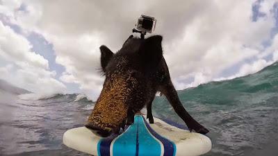varken op een surfboard in hawaii