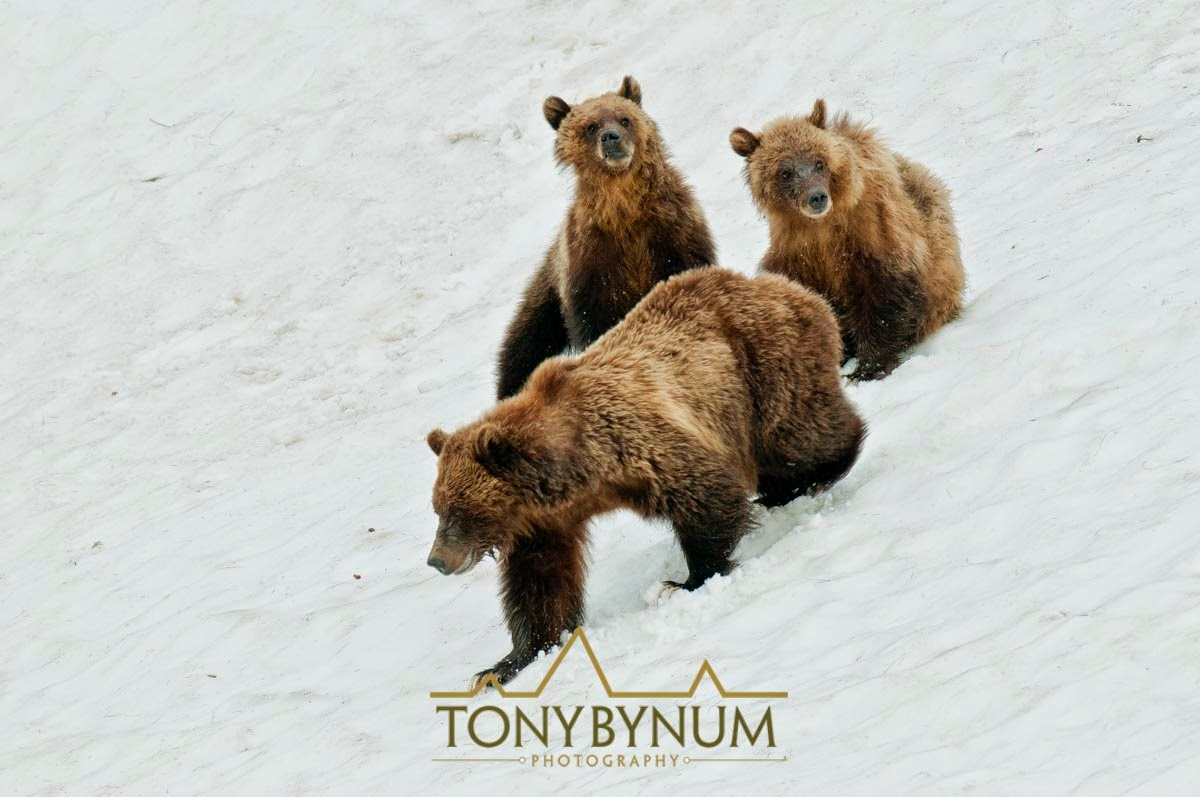 grizzly bear sow and two cubs in the snow, montana