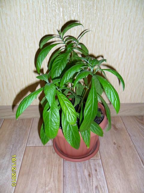 Фикус каучуконосный (Ficus